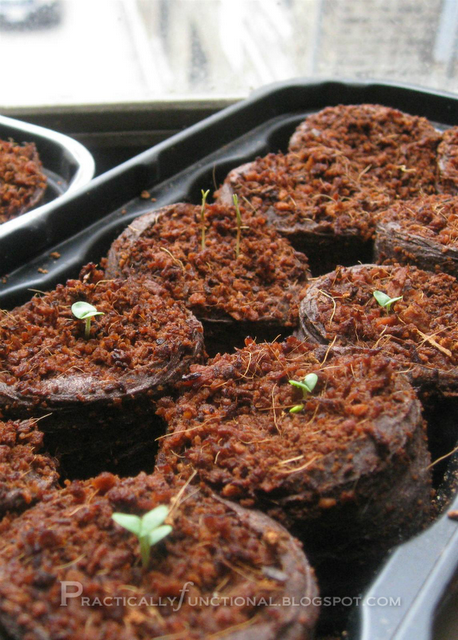Dill and basil seedlings have sprouted