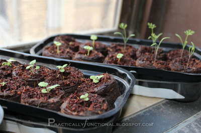 Dill seedlings, almost ready to transplant