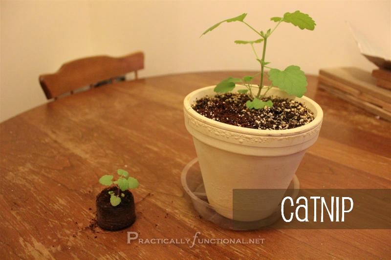 Catnip seedling in pellet vs. catnip seedling in pot