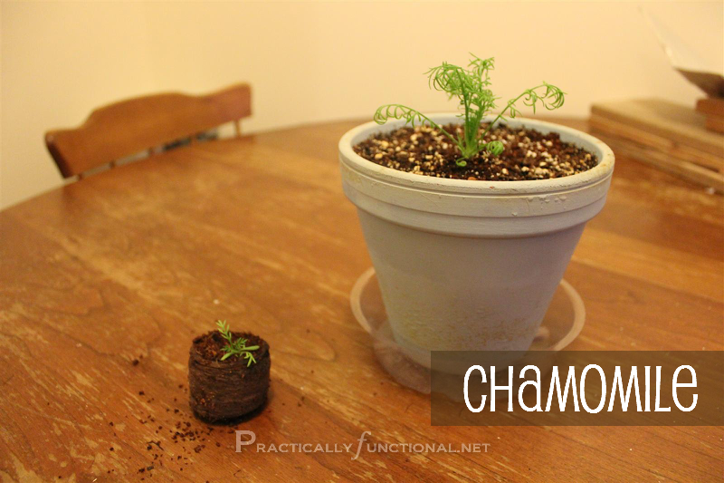 Chamomile seedling in pellet vs. chamomile seedling in pot
