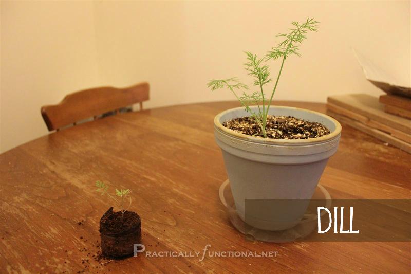 Dill seedling in pellet vs. dill seedling in pot