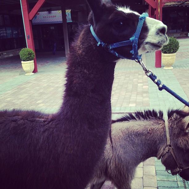 Llama and Pony