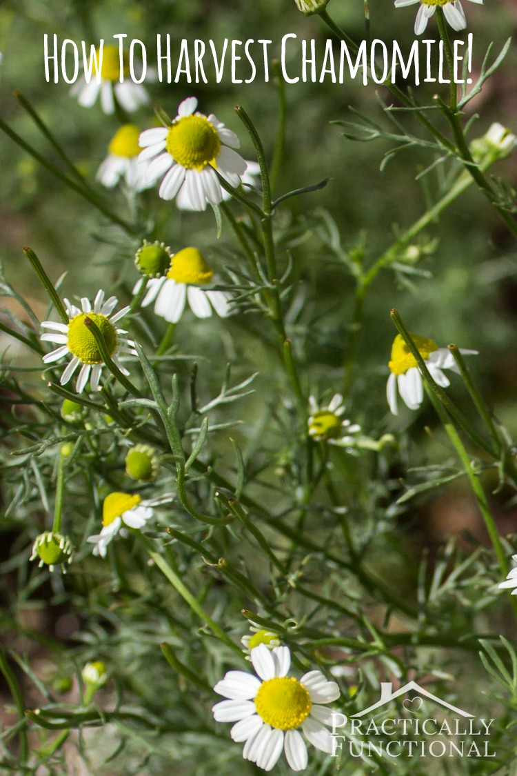 The most unusual ways to use chamomile 51