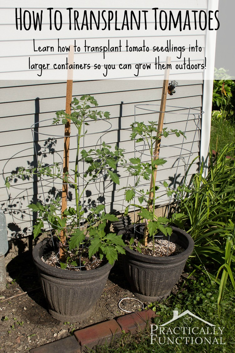 How to transplant tomatoes: Learn how to transplant tomato seedlings into larger containers so you can grow them outdoors!
