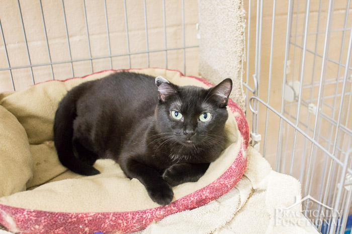 June is Adopt A Shelter Cat month! Give a cat a loving forever home! #MyRescueStory